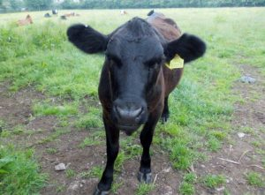 One of the cows at Elm Tree Farm