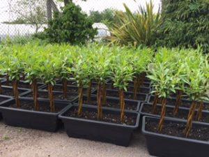 bonsai willow troughs