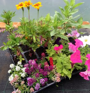 Bedding plants from Elm Tree Farm